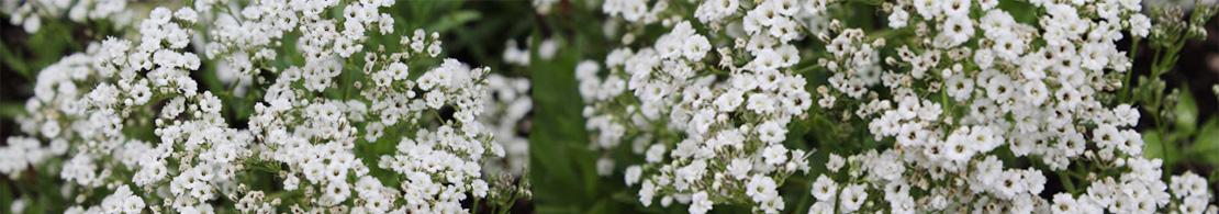 Imani Flowers
