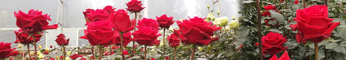 Zena Roses
