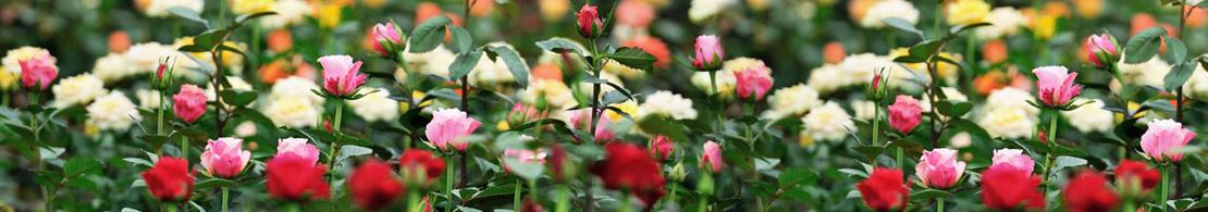 Uhuru Flowers